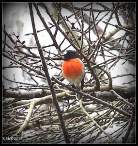 araluen_bird