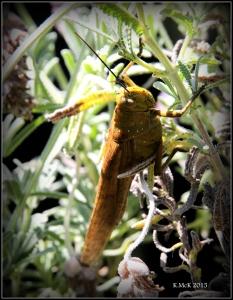 grasshopper_3
