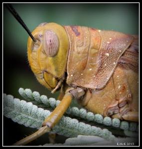 grasshopper_6