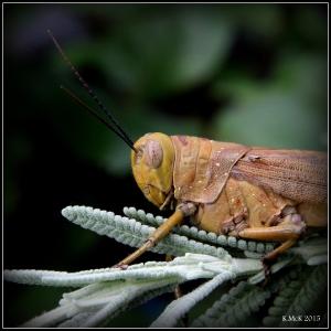 grasshopper_7