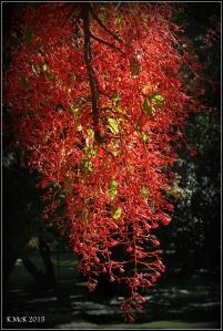 flame tree_11