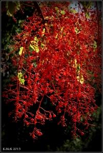 flame tree_12