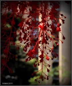 flame tree_14