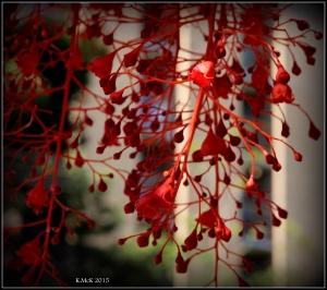 flame tree_15