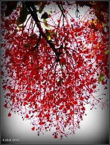 flame tree_16