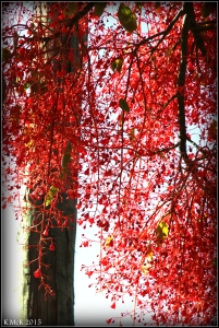 flame tree_17