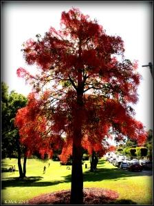 flame tree_18