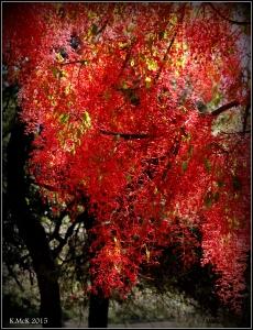flame tree_19