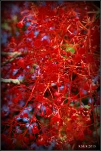 flame tree_5