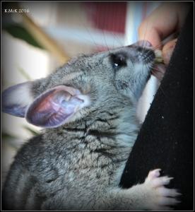 possum_22