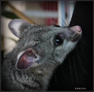 possum_27