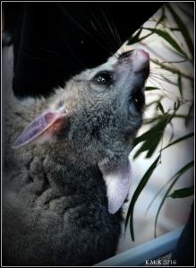possum_3