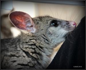possum_4