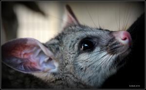 possum_6