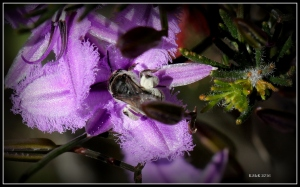 bees_lily_3